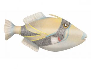 Hawaii's Humuhumunukunukuapua or Trigger fish, created with colored pencils.